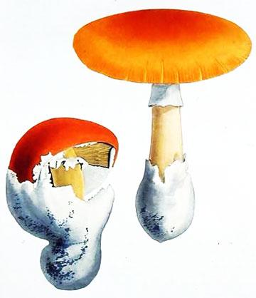 Amanita-caesaria1